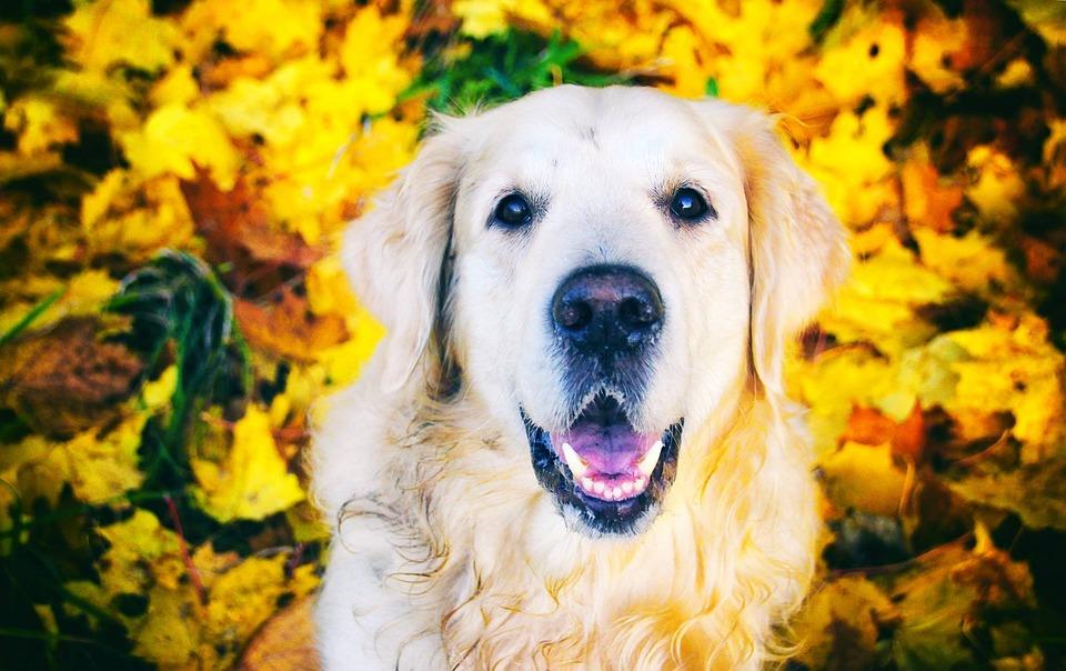 Cute, Portrait, Dog, Pet, Animals, Young, Retriever