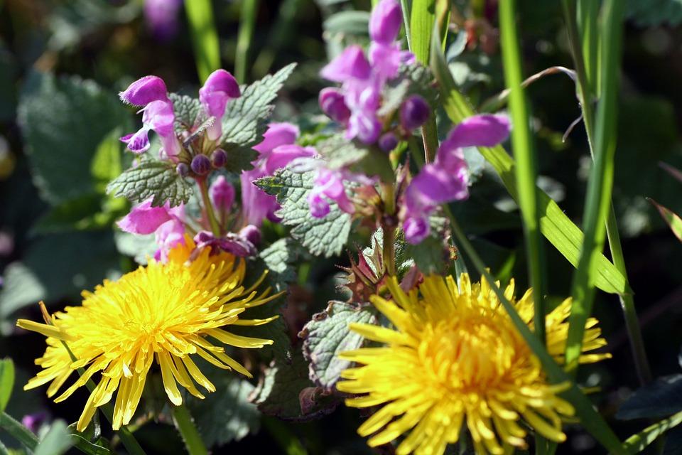 Flowers, Nature, Spring, Dandelion, Beauty, Petal