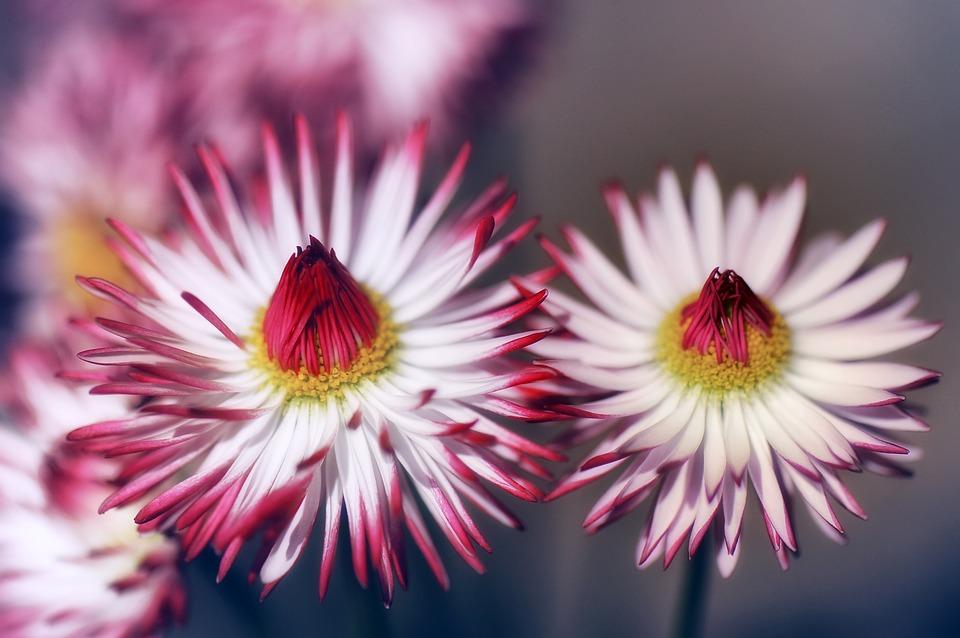 Flower, Nature, Plant, Petal, Floral, Daisy, Bellis