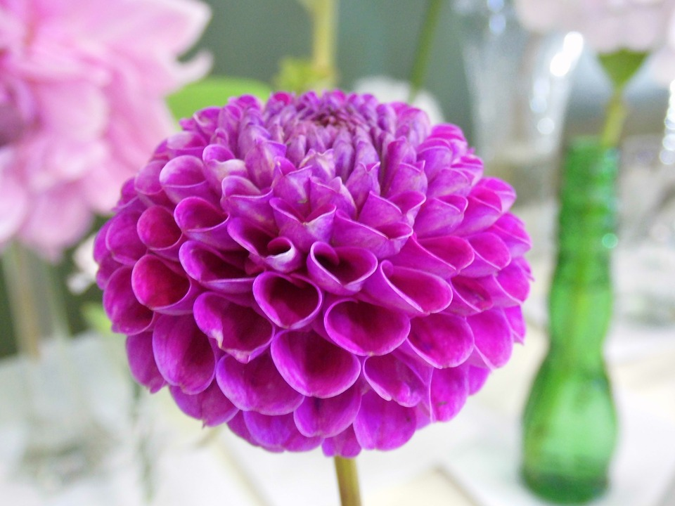 Dahlia, Purple, Flower, Beautiful, Blossom, Petal