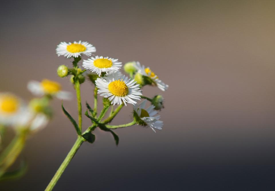 Daisy, Flowers, In The Morning, Petal, Beautiful, Calm
