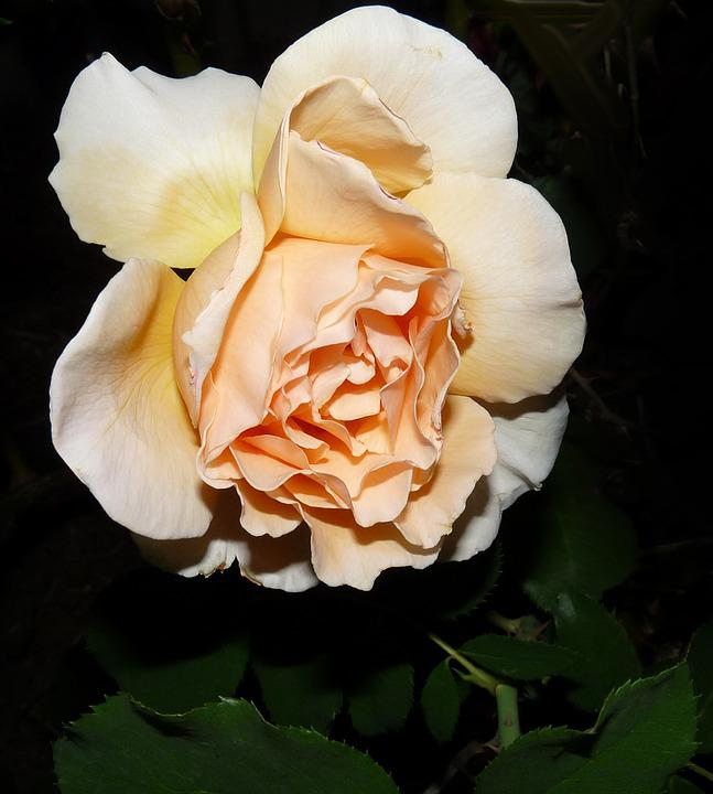 Flower, Rose, Petal, Nature, Flora