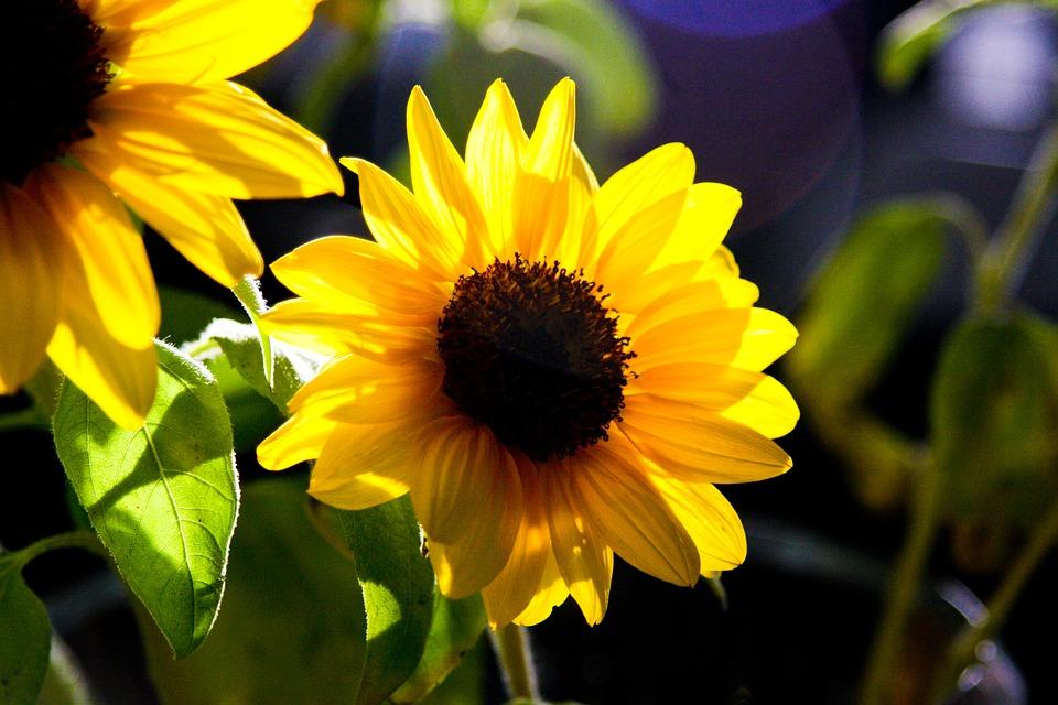 Sunflower, Flower, Yellow, Floral, Blossom, Petal