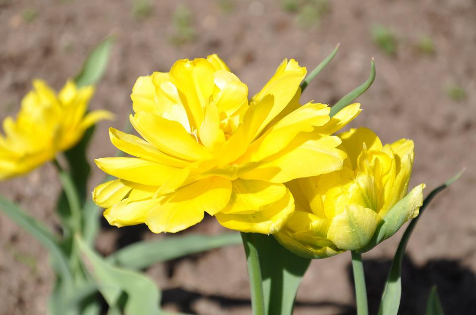 Tulips, Yellow, Flower, Floral, Blossom, Petal, Bloom