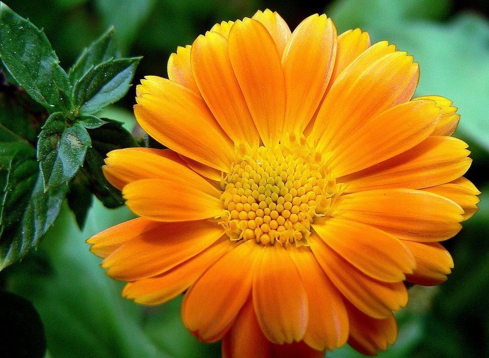 Flower, Orange, Petal, Blooming, Macro