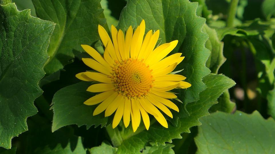 Doronikum East, Flower, Spring, Plant, Petal, Blooming
