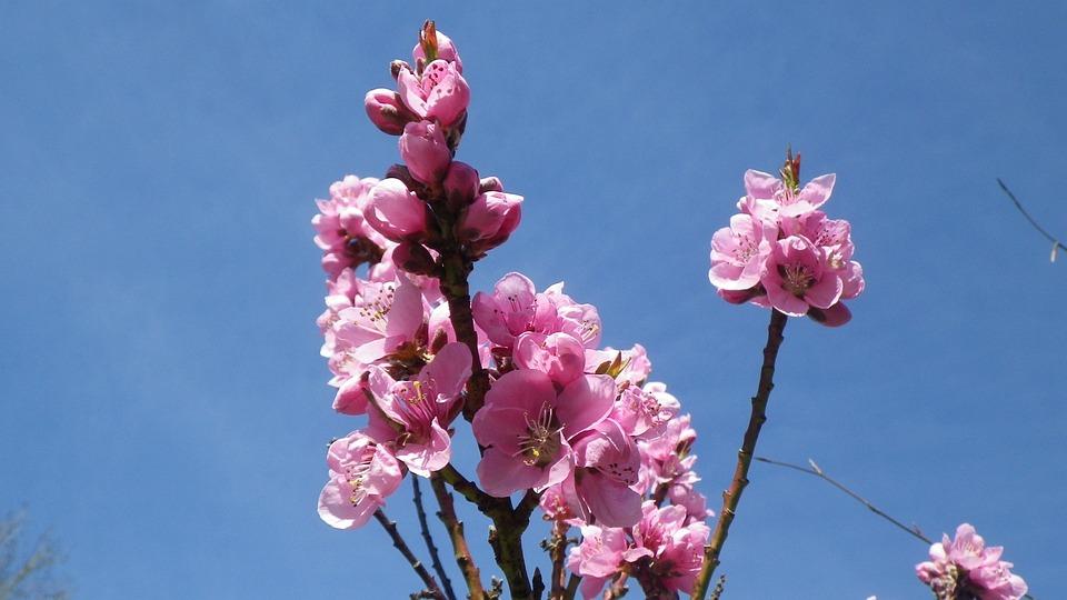Flower, Nectarine, Sky, Nature, Petal, Garden, Spring
