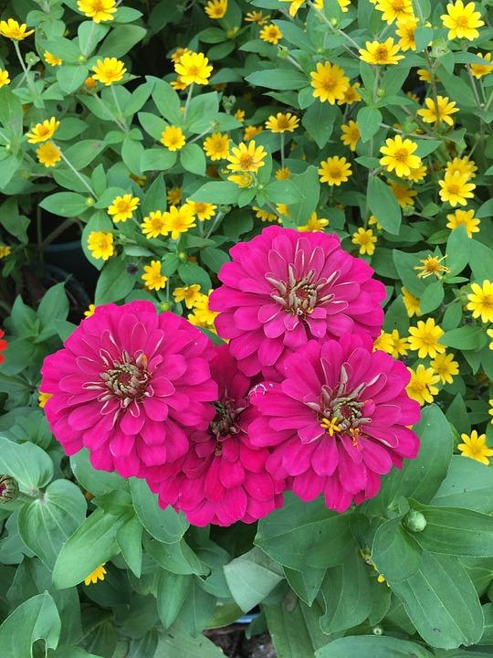 Zinnia, Pink, Garden, Flower, Petal, Romantic