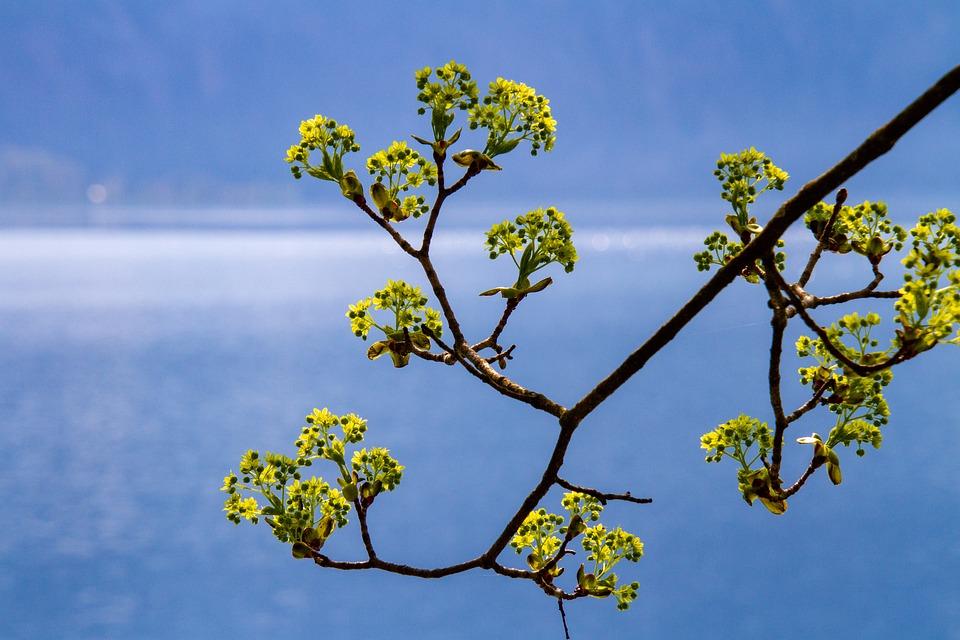 Tree, Flowers, Branch, Nature, Lake, Petal, Waters