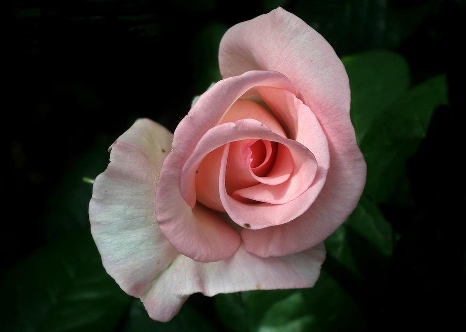 Flower, Rose, Pink, Petal, Nature, Love, Nature Closeup