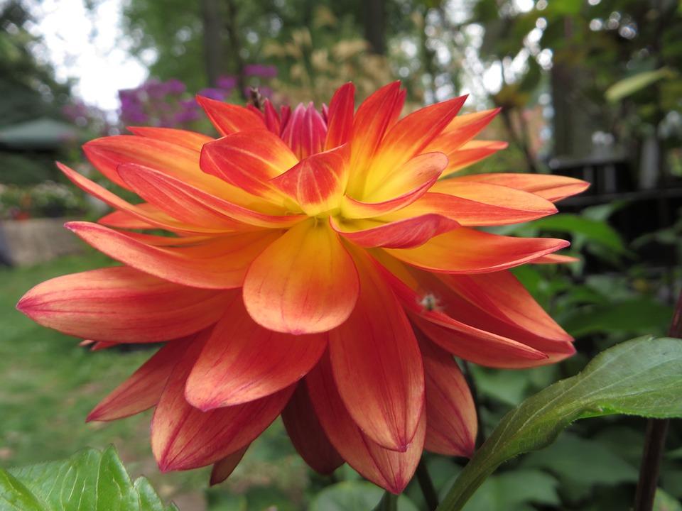 Flower, Petal, Orange, Luisa, Garden