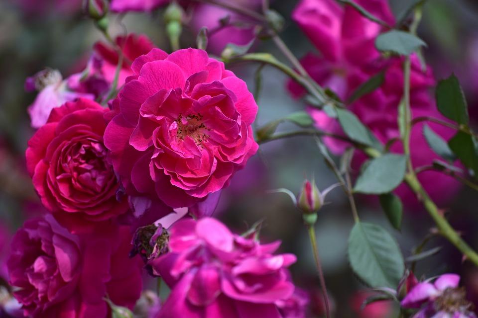 Flower, Flora, Nature, Floral, Petal, Rose, Red, Leaves