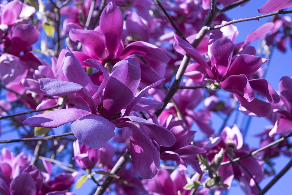 Flower, Nature, Flora, Petal, Summer, Magnolia