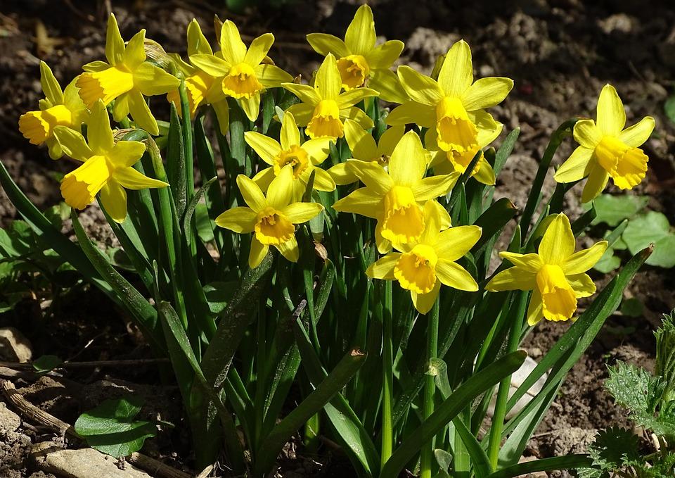 Flower, Plant, Nature, Petal, Narcissus Pseudonarcissus