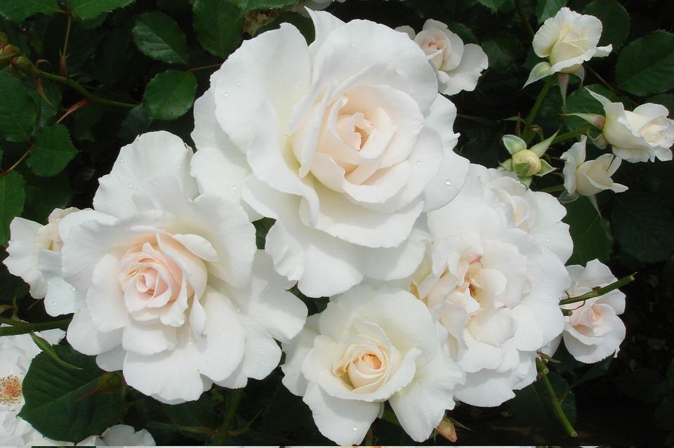 Flowers, Rose, Plant, Petal