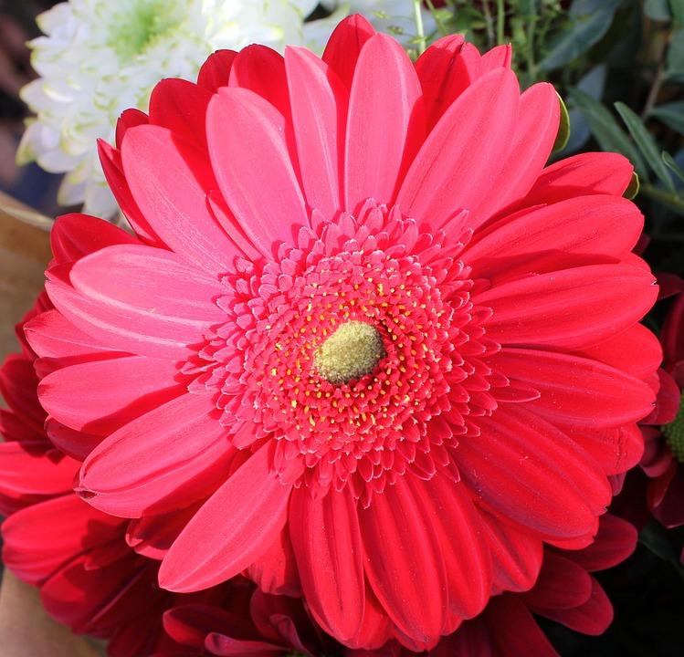 Flower, Flora, Petal, Head, Red, Pink, Bloom, Blossom