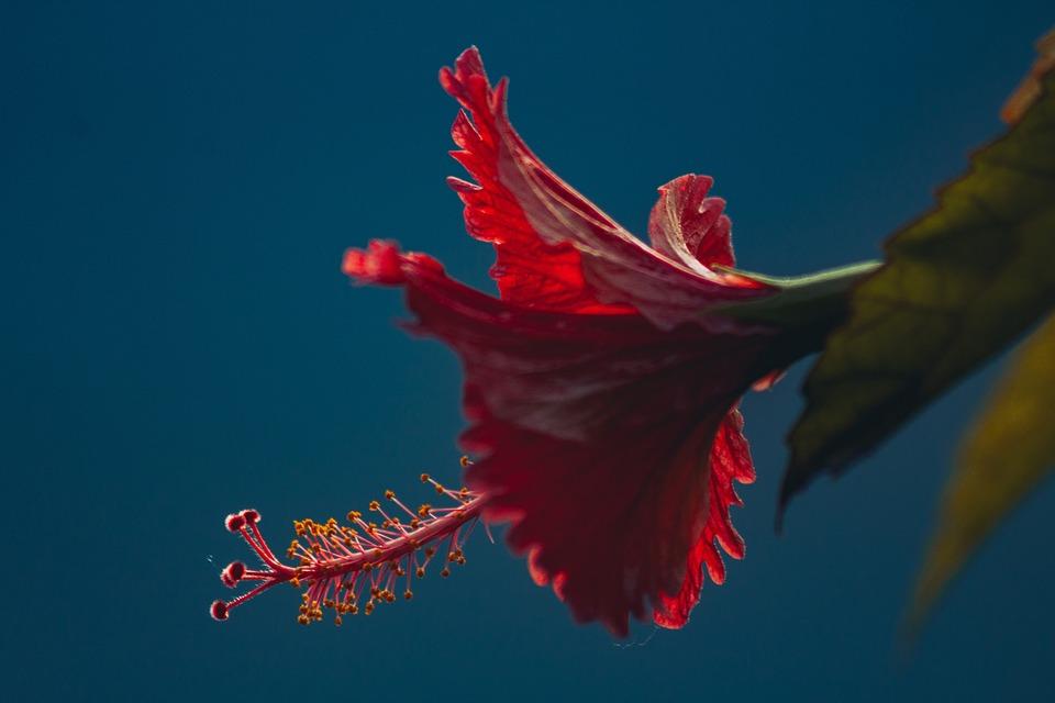 Red, Petal, Flower, Bloom, Green, Leaf
