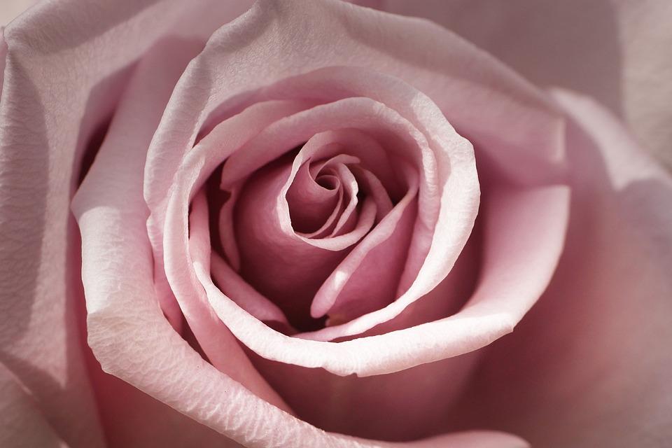 Rose, Rose Bloom, Leaf, Rosenblatt, Petal, Pink, Nature
