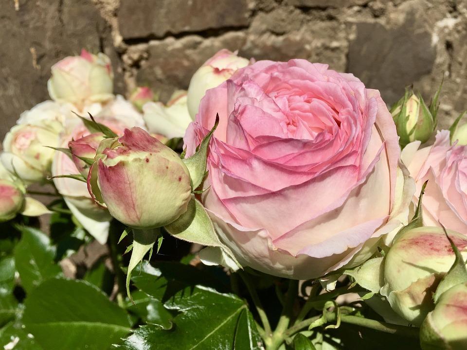 Flower, Rose, Floral, Petal, Plant, Flowers, Romance