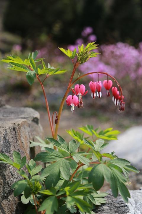 Bleeding Heart, Flowers, Petal, Wildflower, Nature