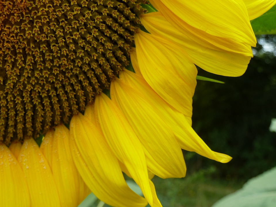 Sunflower, Heart, Flower, Yellow Was, Nature, Petal