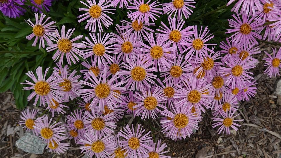 Asters, Flowers, Garden, Pink Asters, Petals