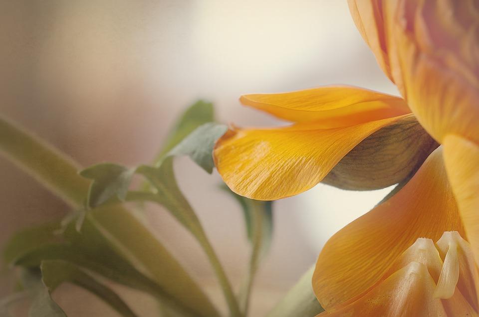 Ranunculus, Blossom, Bloom, Petals, Orange, Tender