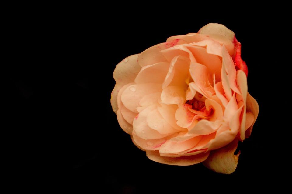 Pat Austin Rose, Flower, Petals, Bloom, Blossom, Plant