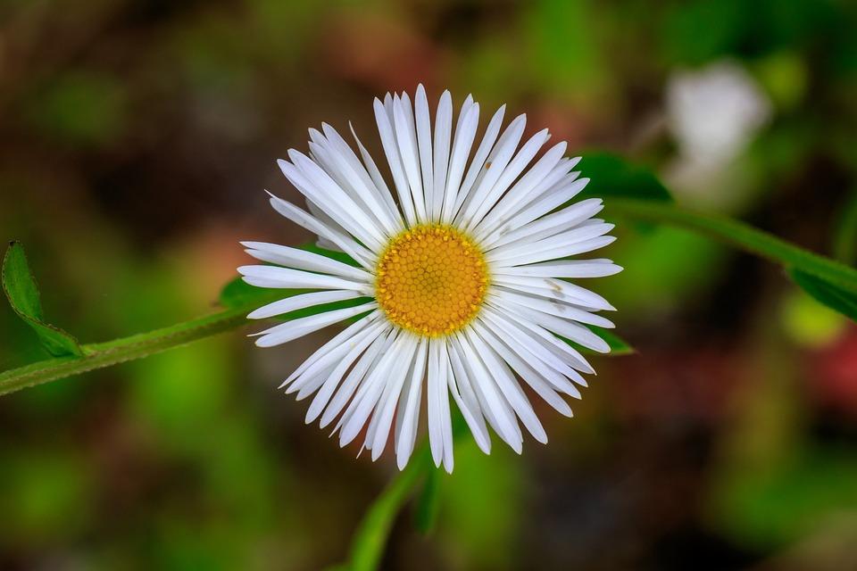 Marguerite, Blossom, Bloom, Petals, Nature, Flora