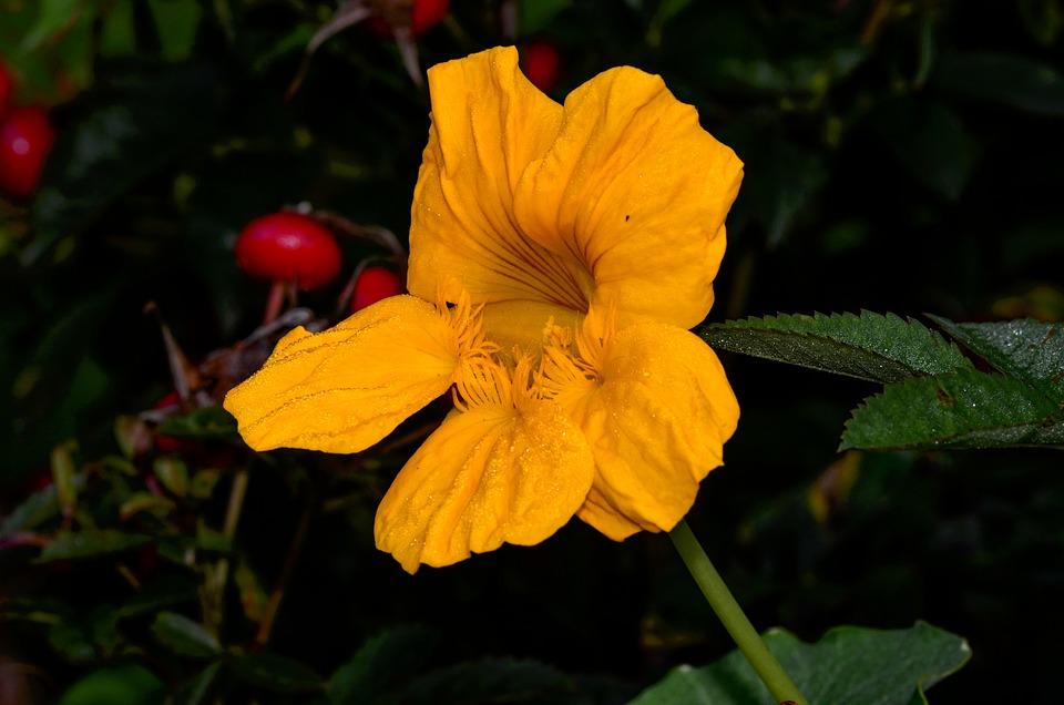 Nasturtium, Yellow, Blossom, Bloom, Petals, Nature