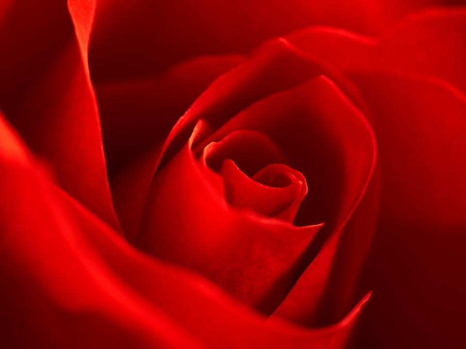 Rose, Red, Macro, Blossom, Bloom, Petals, Blossomed