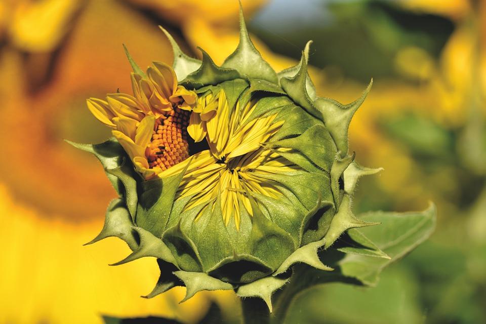 Sunflower, Bud, Blossom, Bloom, Petals, Yellow, Bloom