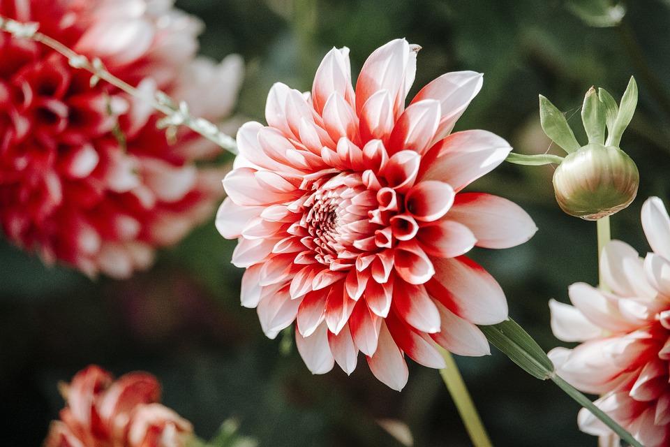 Dahlia, Flower, Plant, Petals, Bud, Bloom, Flora