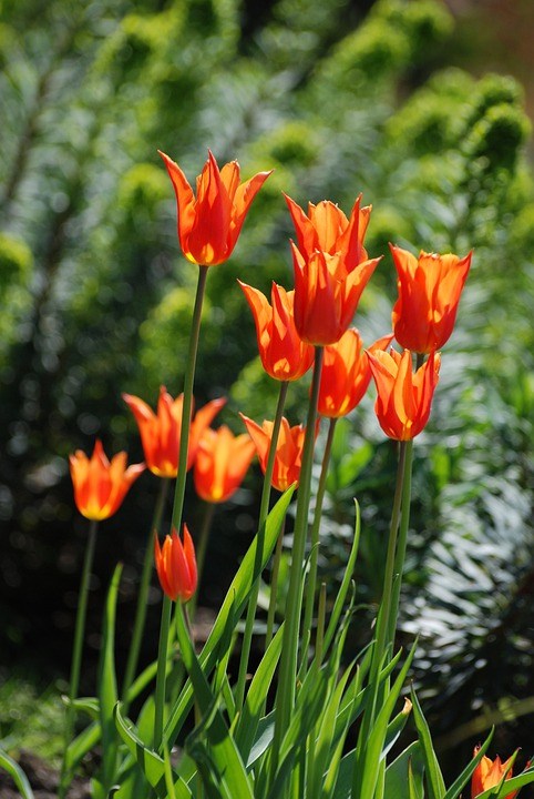 Tulips, Flowers, Perennial, Orange, Bulbs, Petals