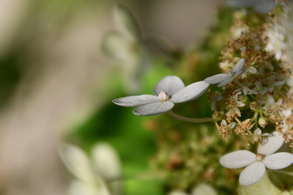 White, Hydrangea, Petals, Bush, Flower, Blooms At