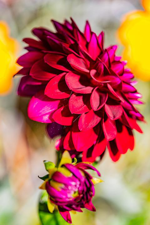 Dahlia, Flower, Red Flowers, Petals, Red Petals, Bud