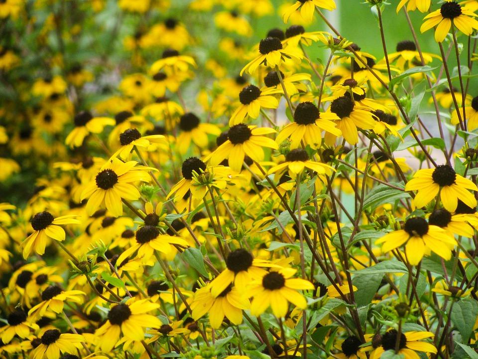 Plants, Flowers, Yellow, Daisies, Wildflowers, Petals