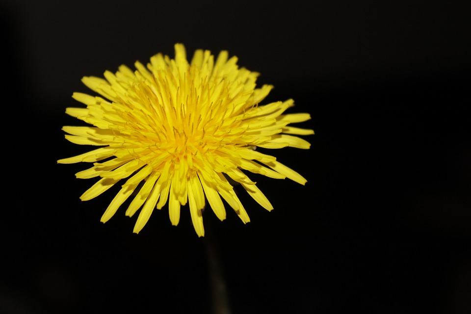 Dandelion, Buttercup, Nature, Summer, Yellow, Petals