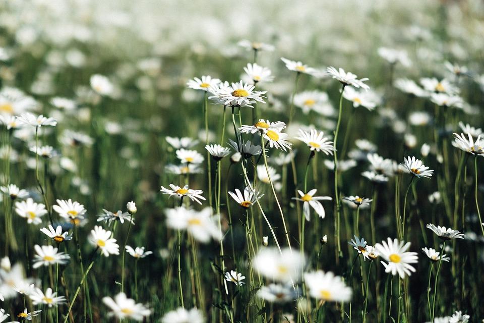 Free photo petals farm white field garden blur flowers max pixel white flowers petals blur garden field farm mightylinksfo