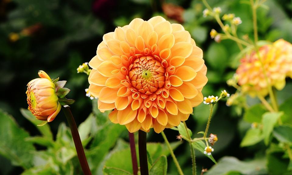 Dahlias, Flowers, Petals, Bloom, Blossom, Flora