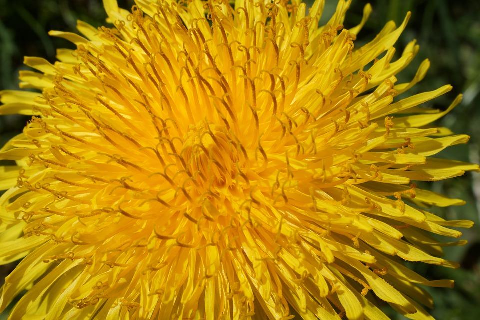 Yellow, Dandelion, Flower, Petals, Flora, Blossom