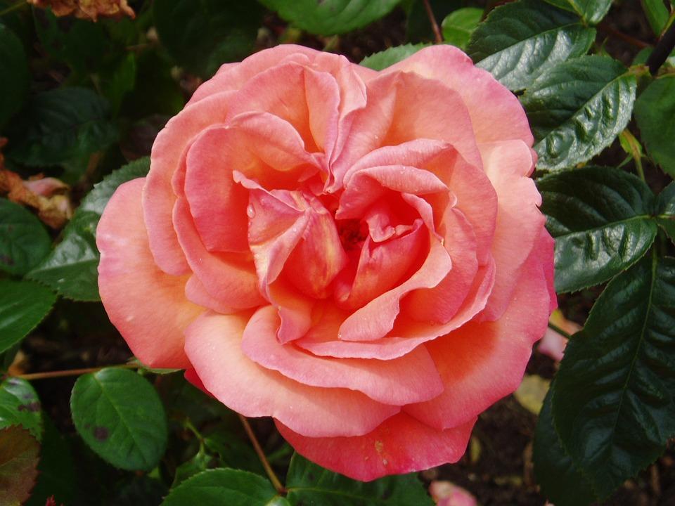 Rose, Flower, Bloom, Petal, Petals, Floral, Romantic