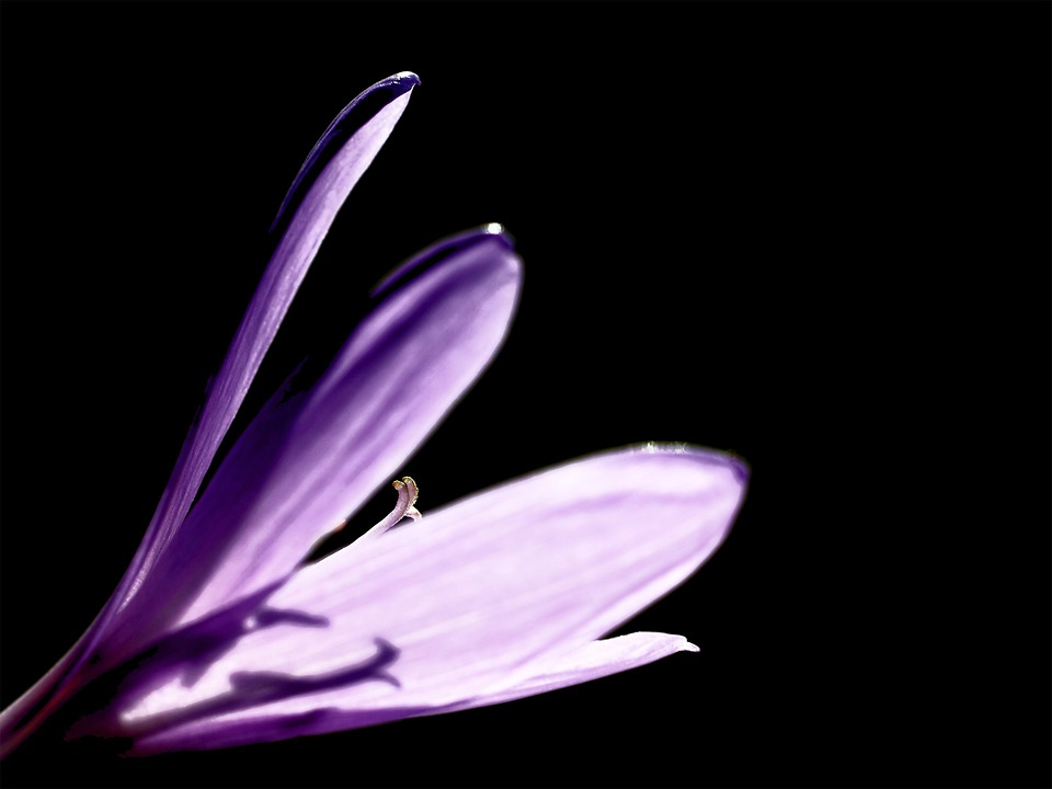 Flower, Crocus, Petals, Autumn Crocus