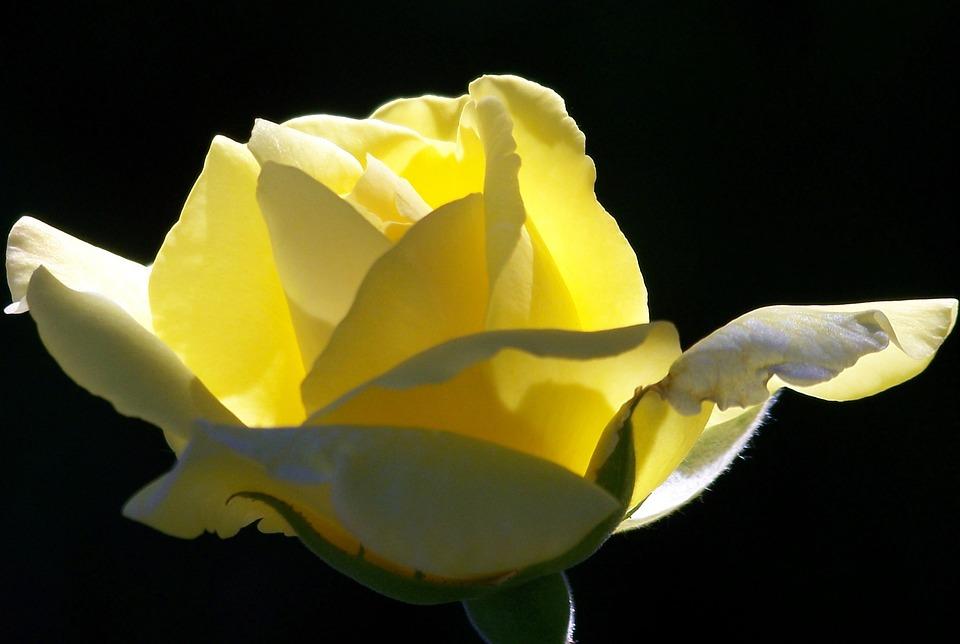 Yellow, Roses, Blooms, Flower, Blooming, Petals