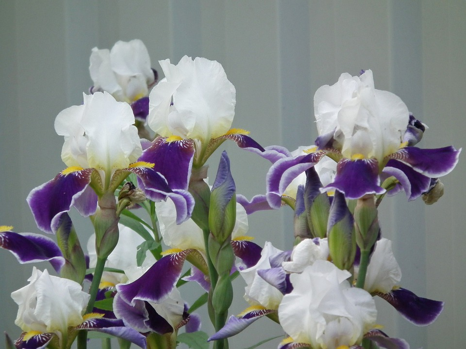 Flowers, Iris, Flower, White, Purple, Colorful, Petals