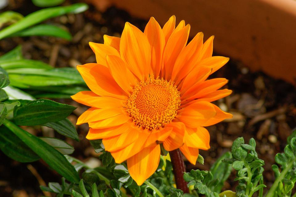 Flower, Gazania, Petals, Orange