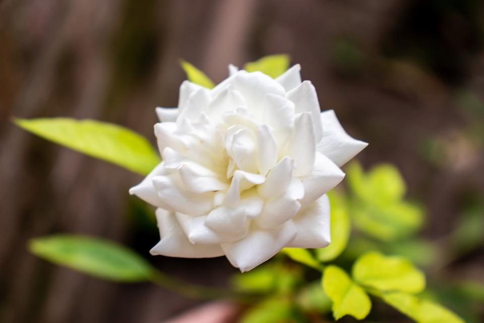 Flower, Petals, Plant, White Flower, Bloom, Blossom