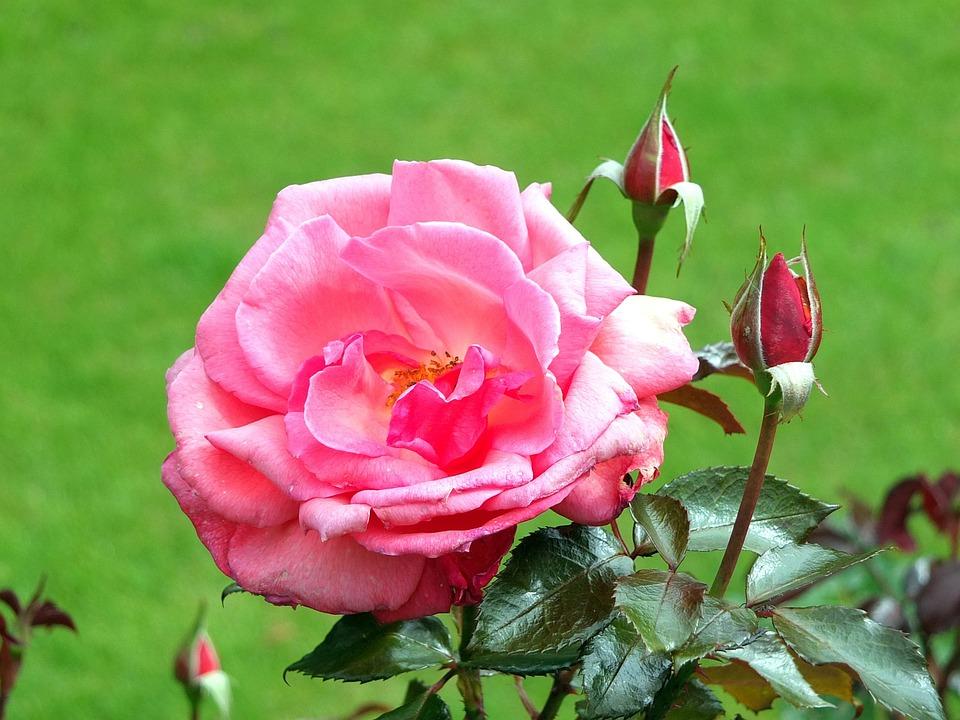 Rose, Petals, Buds, Leaves, Garden, Border, Flowerbed