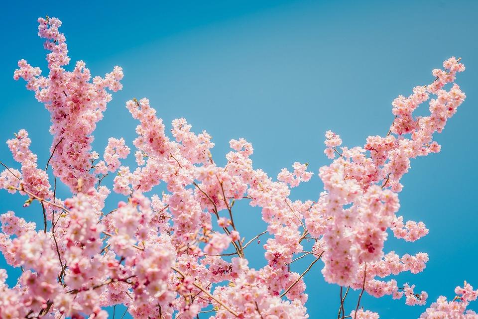Sakura, Flowers, Cherry Blossoms, Pink Petals, Petals