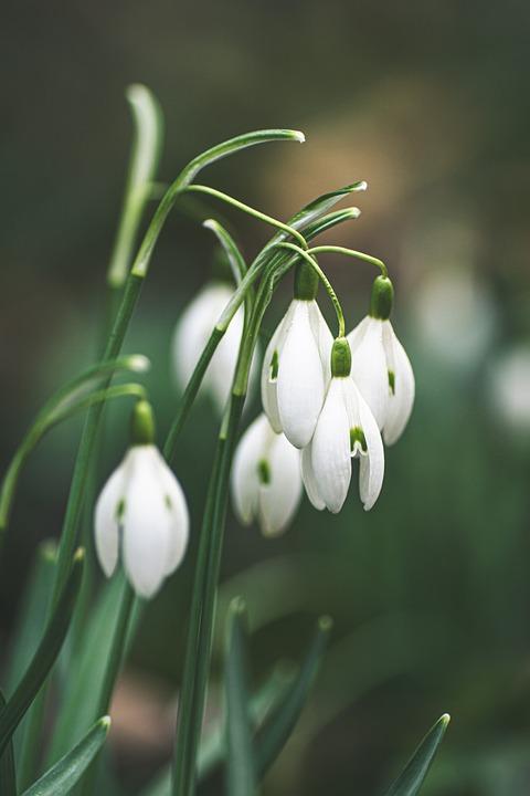 Snowdrop, Flowers, Plant, White Flowers, Petals, Bloom